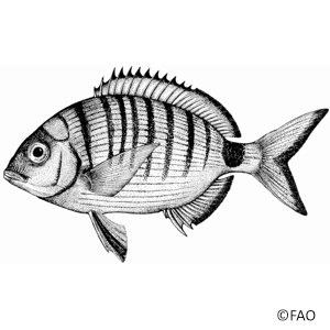 White Bream (Diplodus Sargus)